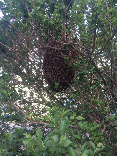 this is a photo of a swarm of honey bees we retrieved from a tree in Worcester Mass.