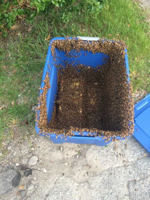 Here we are in the process of Retrieving and Transporting the Honey Bee swarm.